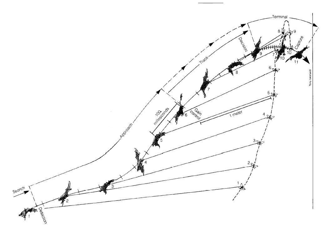 myotis lucifugus  fm 70khz